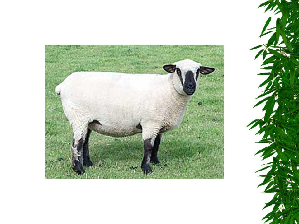 KOZA  Patří mezi savce  Žije v chlívku  Chová se na mléko  Žere trávu a seno  Není agresivní a musí se pravidelně dojit  Samec je kozel a mládě