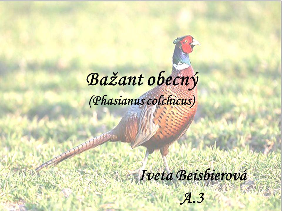 Bažant obecný (Phasianus colchicus) Iveta Beisbierová A.3