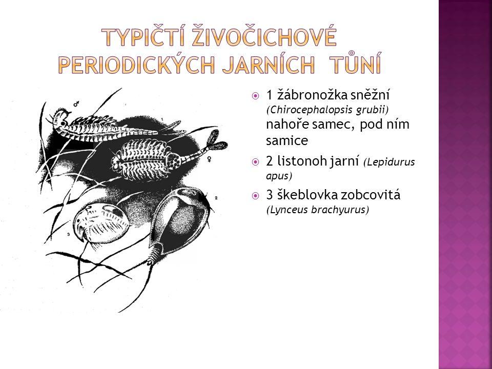  1 žábronožka sněžní (Chirocephalopsis grubii) nahoře samec, pod ním samice  2 listonoh jarní (Lepidurus apus)  3 škeblovka zobcovitá (Lynceus brac