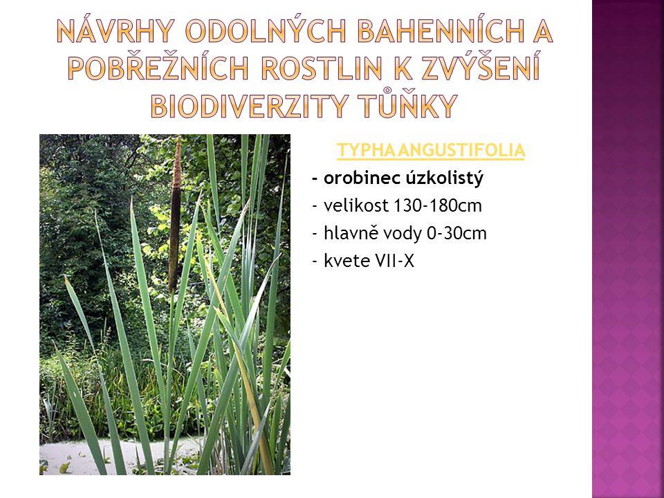 TYPHA ANGUSTIFOLIA - orobinec úzkolistý - velikost 130-180cm - hlavně vody 0-30cm - kvete VII-X