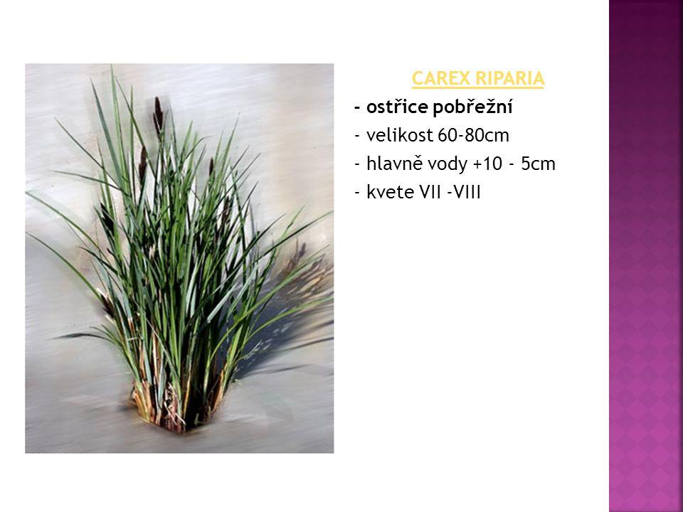 CAREX RIPARIA - ostřice pobřežní - velikost 60-80cm - hlavně vody +10 - 5cm - kvete VII -VIII