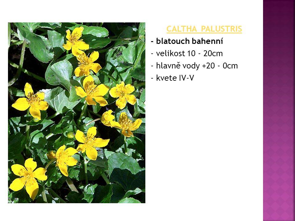 CALTHA PALUSTRIS - blatouch bahenní - velikost 10 - 20cm - hlavně vody +20 - 0cm - kvete IV-V