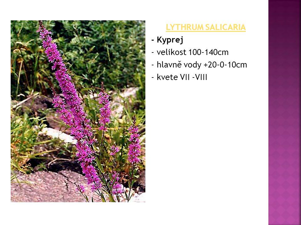 LYTHRUM SALICARIA - Kyprej - velikost 100-140cm - hlavně vody +20-0-10cm - kvete VII -VIII