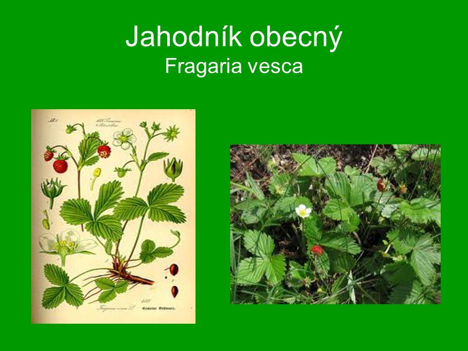 Jahodník obecný Fragaria vesca