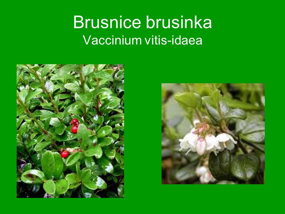 Brusnice brusinka Vaccinium vitis-idaea