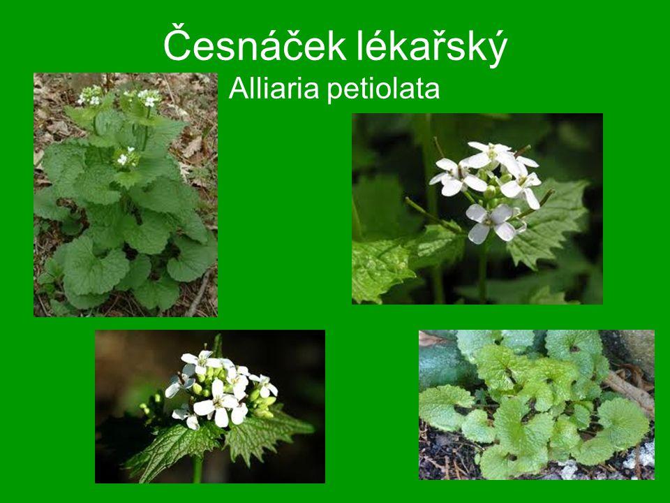 Česnáček lékařský Alliaria petiolata