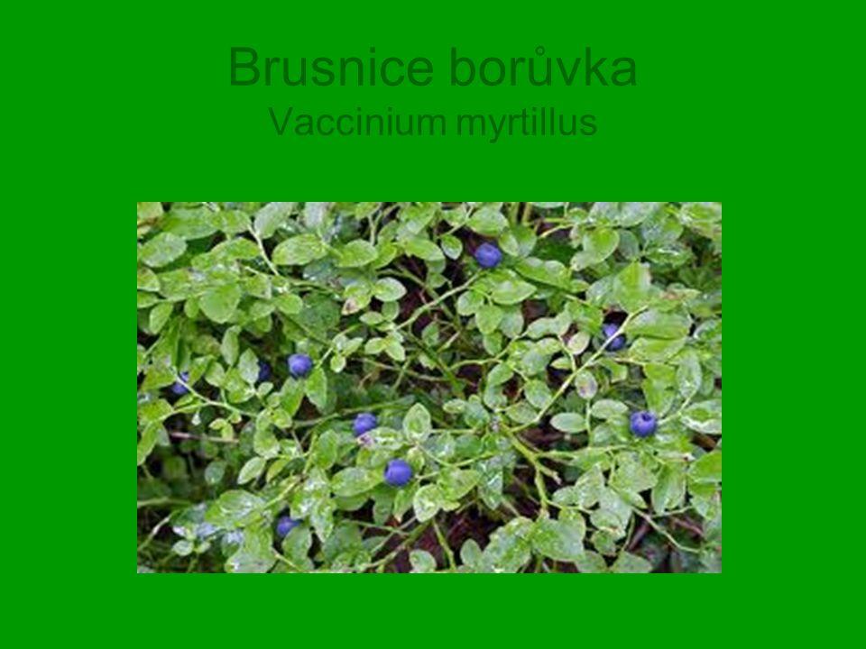 Brusnice borůvka Vaccinium myrtillus