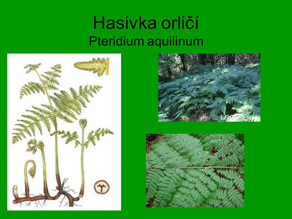 Hasivka orličí Pteridium aquilinum