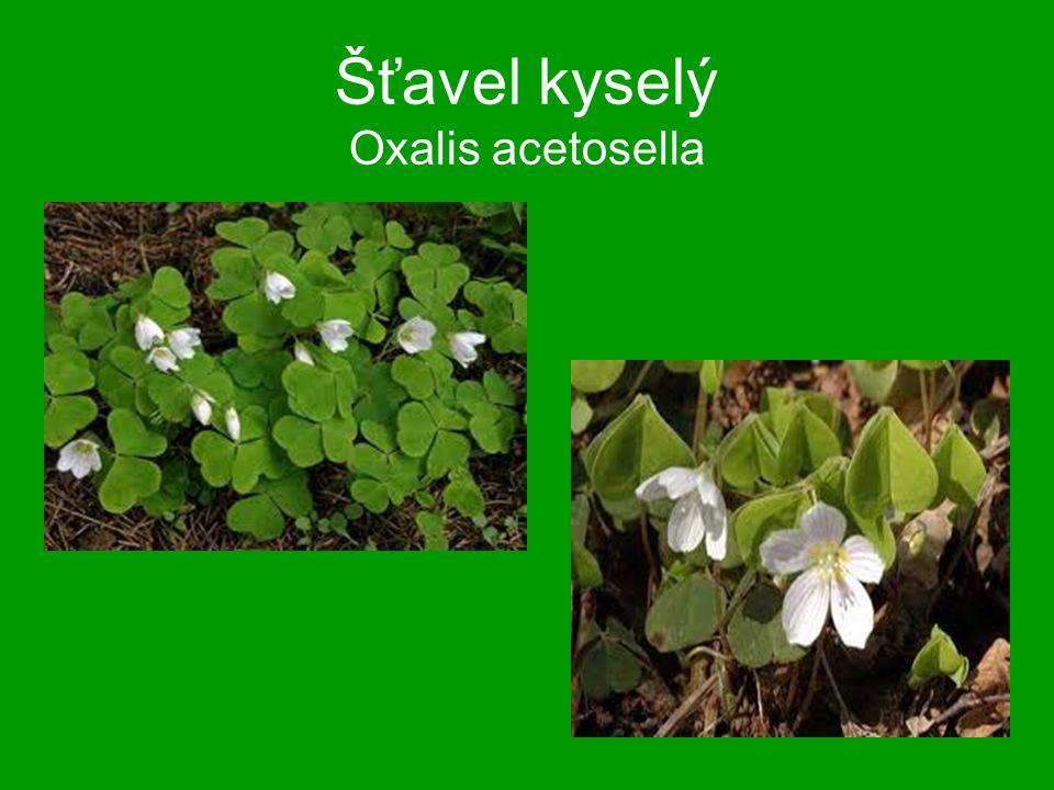 Šťavel kyselý Oxalis acetosella