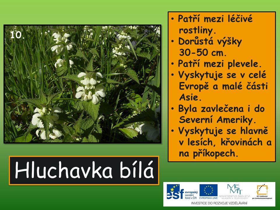 Hluchavka bílá • Patří mezi léčivé rostliny. • Dorůstá výšky 30-50 cm. • Patří mezi plevele. • Vyskytuje se v celé Evropě a malé části Asie. • Byla za