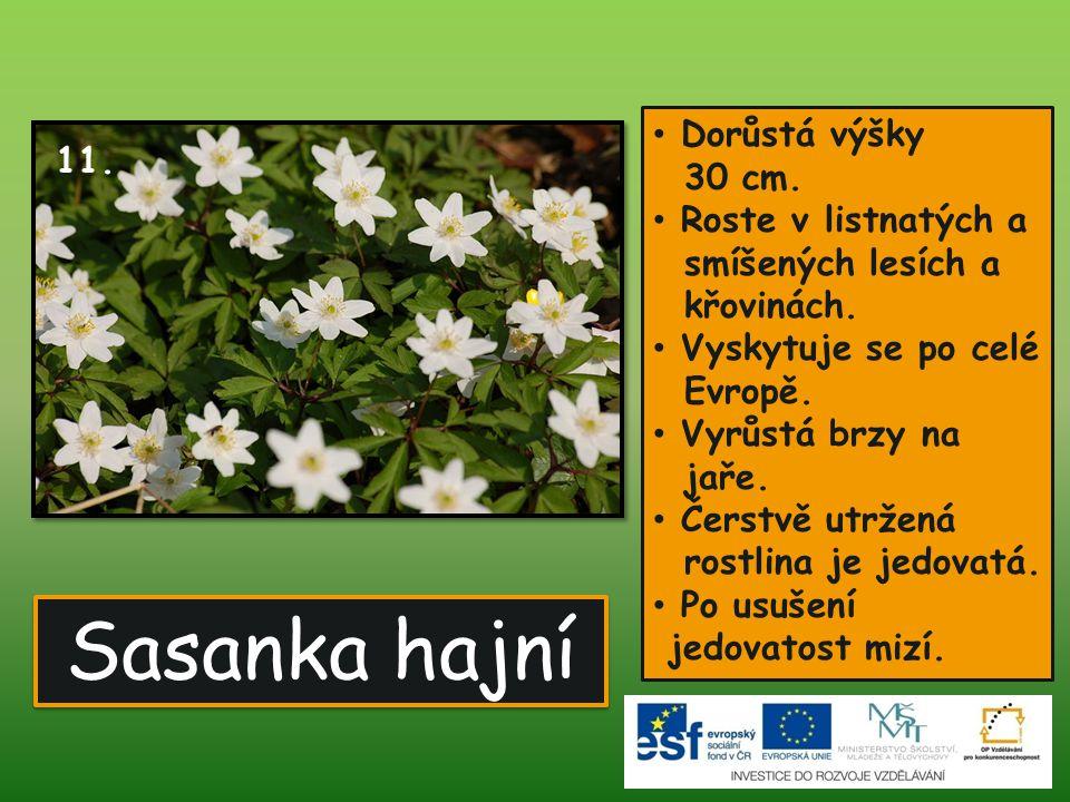 Sasanka hajní • Dorůstá výšky 30 cm. • Roste v listnatých a smíšených lesích a křovinách. • Vyskytuje se po celé Evropě. • Vyrůstá brzy na jaře. • Čer