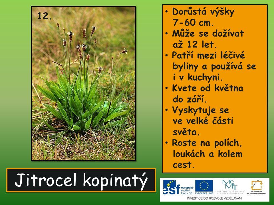 Jitrocel kopinatý • Dorůstá výšky 7-60 cm. • Může se dožívat až 12 let. • Patří mezi léčivé byliny a používá se i v kuchyni. • Kvete od května do září