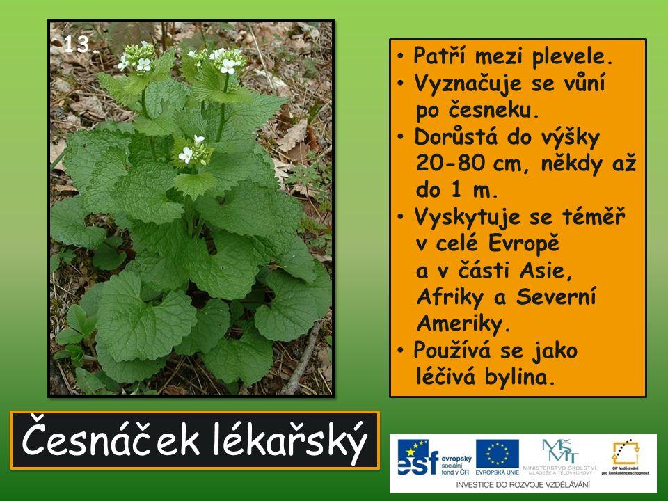 Česnáček lékařský • Patří mezi plevele. • Vyznačuje se vůní po česneku. • Dorůstá do výšky 20-80 cm, někdy až do 1 m. • Vyskytuje se téměř v celé Evro