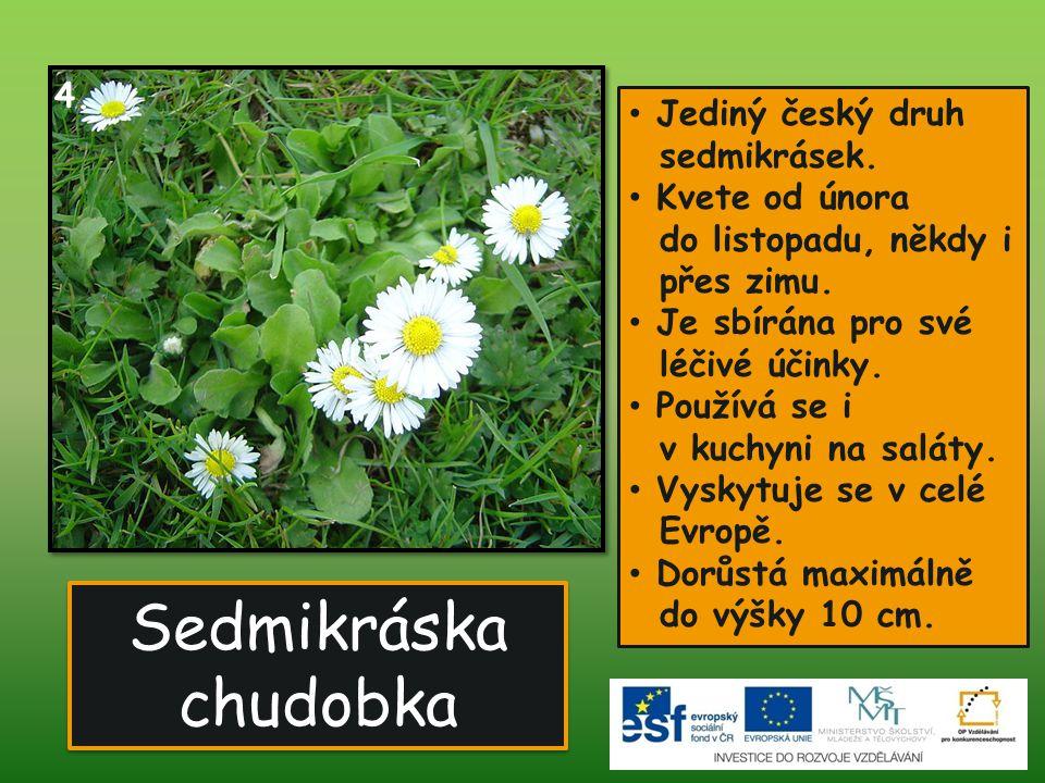 Sedmikráska chudobka • Jediný český druh sedmikrásek. • Kvete od února do listopadu, někdy i přes zimu. • Je sbírána pro své léčivé účinky. • Používá