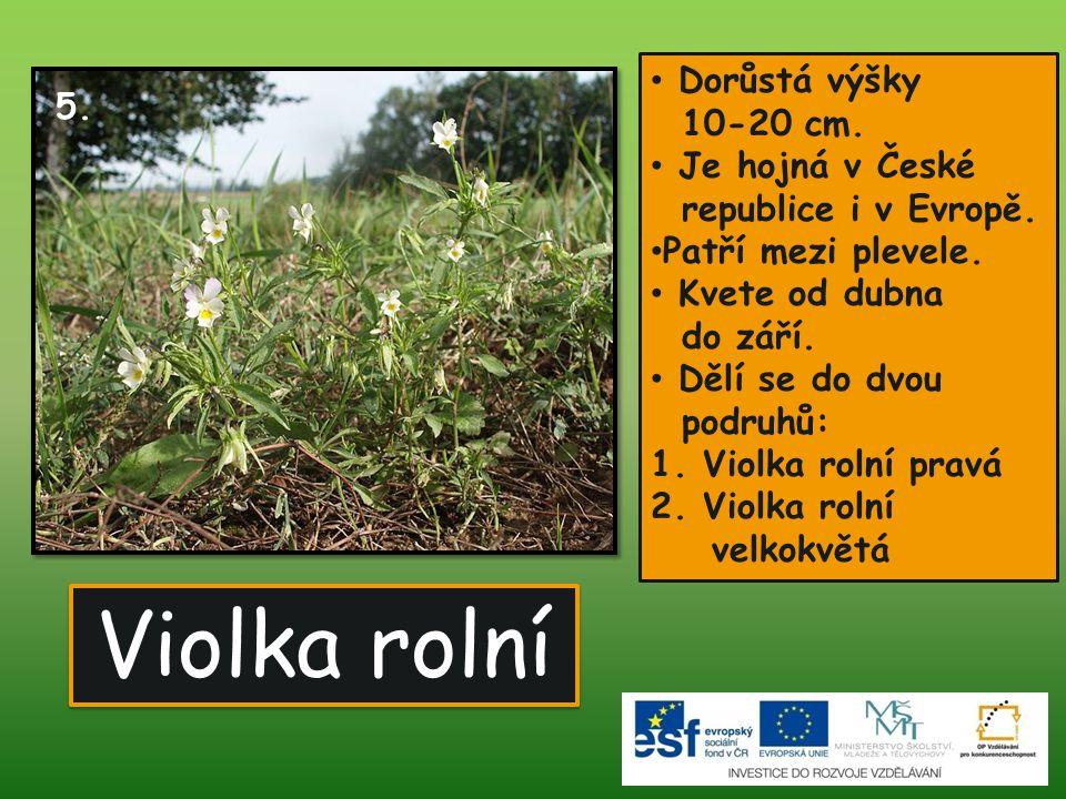 Violka rolní • Dorůstá výšky 10-20 cm. • Je hojná v České republice i v Evropě. • Patří mezi plevele. • Kvete od dubna do září. • Dělí se do dvou podr