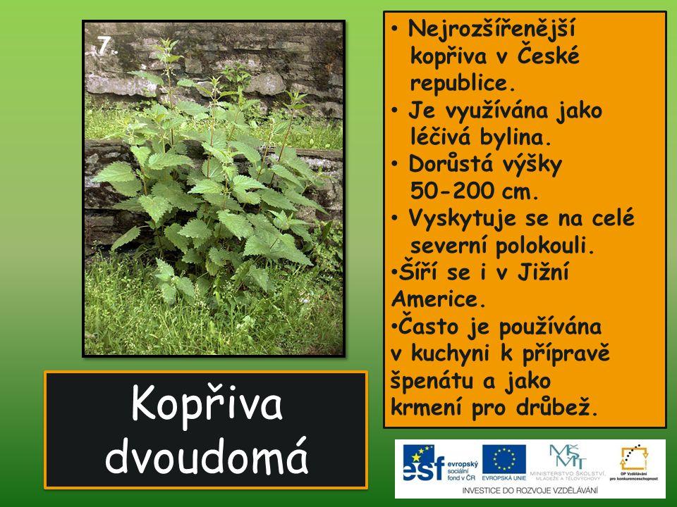 Kopřiva dvoudomá • Nejrozšířenější kopřiva v České republice. • Je využívána jako léčivá bylina. • Dorůstá výšky 50-200 cm. • Vyskytuje se na celé sev