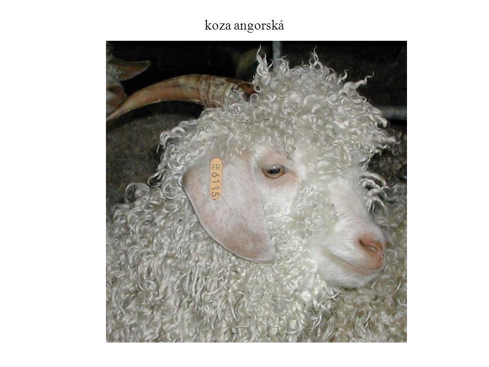 koza angorská