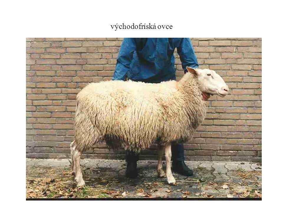 východofríská ovce