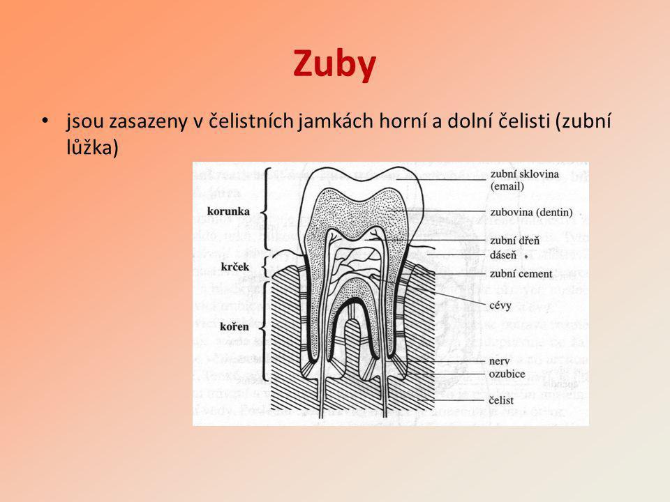 Zuby • jsou zasazeny v čelistních jamkách horní a dolní čelisti (zubní lůžka)