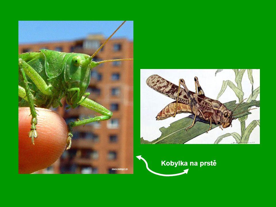 Kobylka na prstě