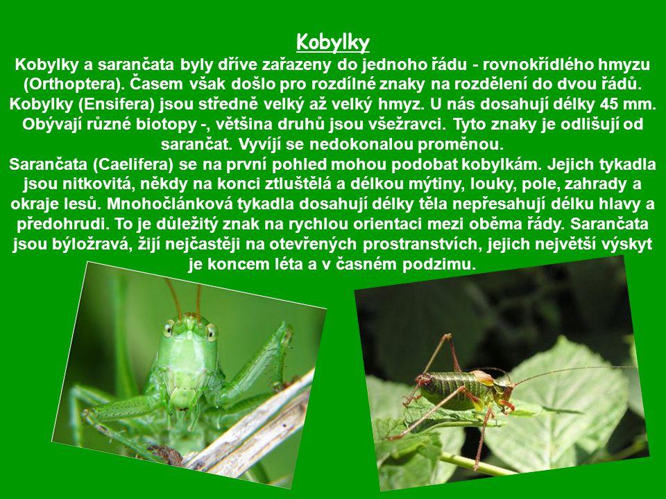 Kobylky Kobylky a sarančata byly dříve zařazeny do jednoho řádu - rovnokřídlého hmyzu (Orthoptera).