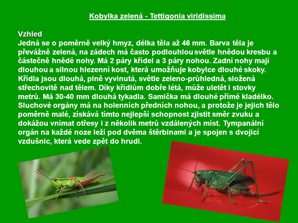 Kobylka zelená - Tettigonia viridissima Vzhled Jedná se o poměrně velký hmyz, délka těla až 46 mm.