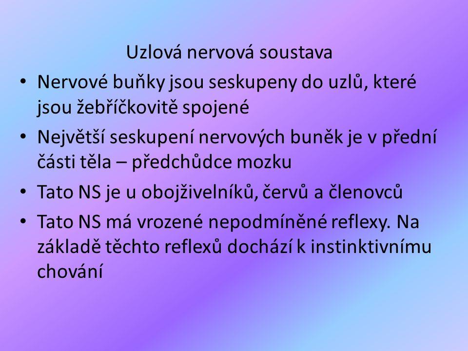 Uzlová nervová soustava • Nervové buňky jsou seskupeny do uzlů, které jsou žebříčkovitě spojené • Největší seskupení nervových buněk je v přední části