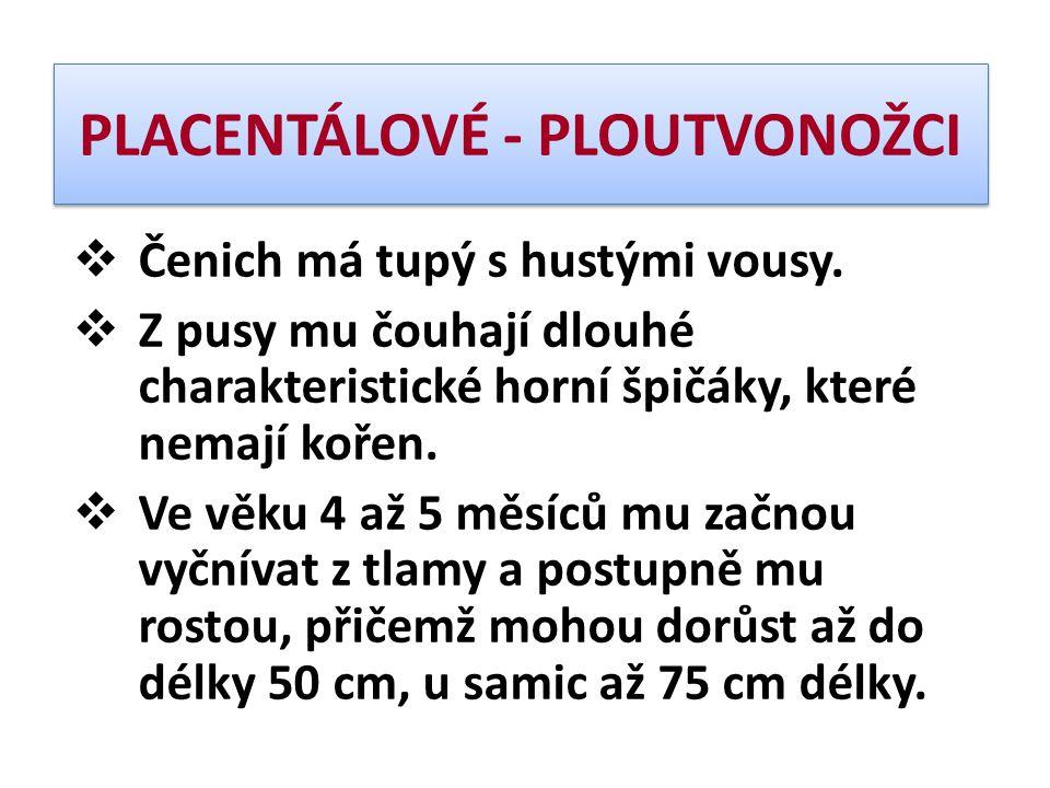 PLACENTÁLOVÉ - PLOUTVONOŽCI  Čenich má tupý s hustými vousy.  Z pusy mu čouhají dlouhé charakteristické horní špičáky, které nemají kořen.  Ve věku