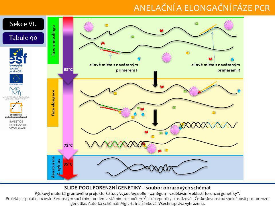ANELAČNÍ A ELONGAČNÍ FÁZE PCR Sekce VI.