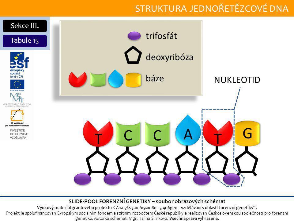 STRUKTURA JEDNOŘETĚZCOVÉ DNA Sekce III.