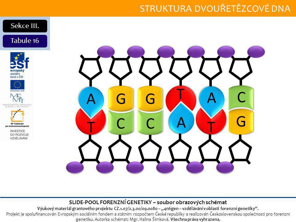 STRUKTURA DVOUŘETĚZCOVÉ DNA Sekce III.