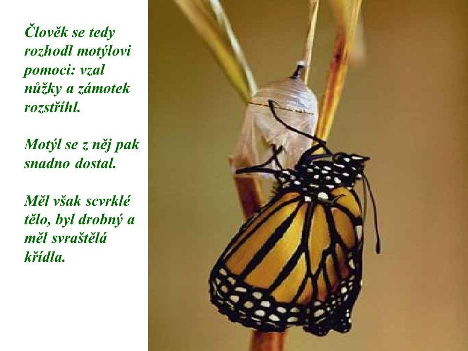 Člověk se tedy rozhodl motýlovi pomoci: vzal nůžky a zámotek rozstříhl. Motýl se z něj pak snadno dostal. Měl však scvrklé tělo, byl drobný a měl svra