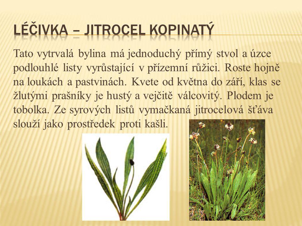Tato vytrvalá bylina má jednoduchý přímý stvol a úzce podlouhlé listy vyrůstající v přízemní růžici. Roste hojně na loukách a pastvinách. Kvete od kvě