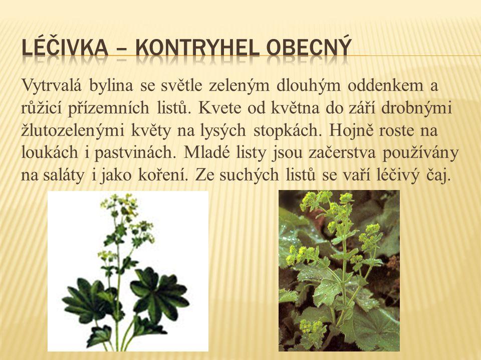 Vytrvalá bylina se světle zeleným dlouhým oddenkem a růžicí přízemních listů. Kvete od května do září drobnými žlutozelenými květy na lysých stopkách.
