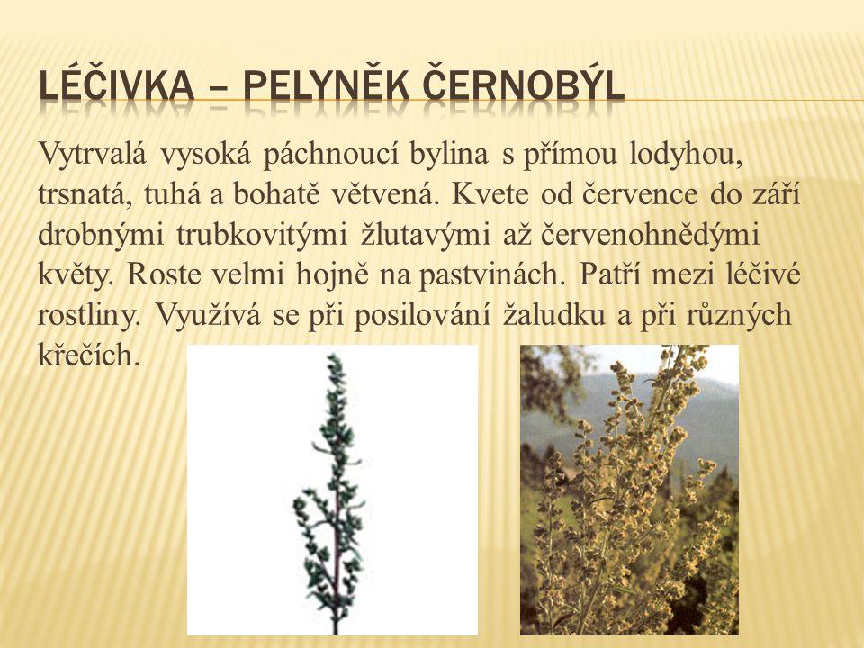 Vytrvalá vysoká páchnoucí bylina s přímou lodyhou, trsnatá, tuhá a bohatě větvená. Kvete od července do září drobnými trubkovitými žlutavými až červen