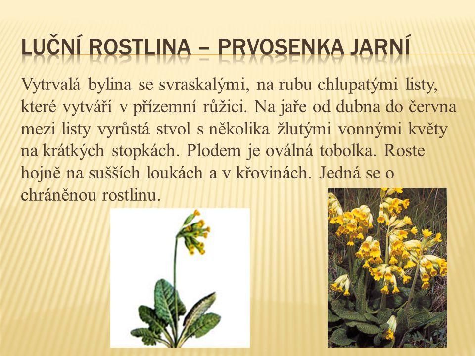 Vytrvalá bylina se svraskalými, na rubu chlupatými listy, které vytváří v přízemní růžici. Na jaře od dubna do června mezi listy vyrůstá stvol s někol