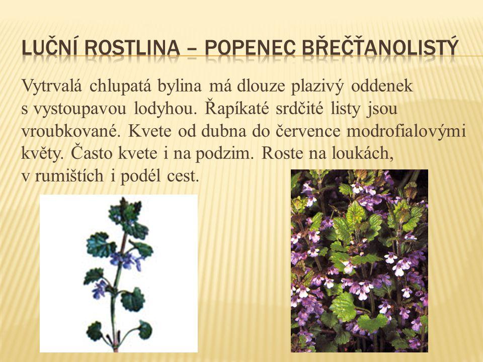Vytrvalá chlupatá bylina má dlouze plazivý oddenek s vystoupavou lodyhou. Řapíkaté srdčité listy jsou vroubkované. Kvete od dubna do července modrofia