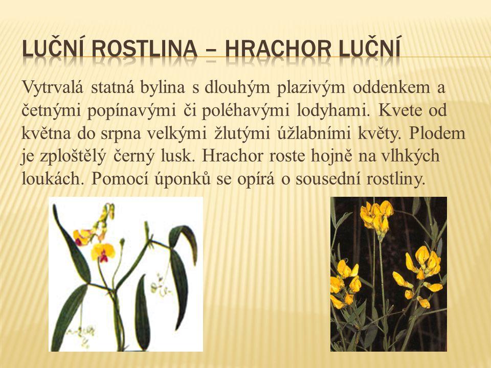 Vytrvalá statná bylina s dlouhým plazivým oddenkem a četnými popínavými či poléhavými lodyhami. Kvete od května do srpna velkými žlutými úžlabními kvě