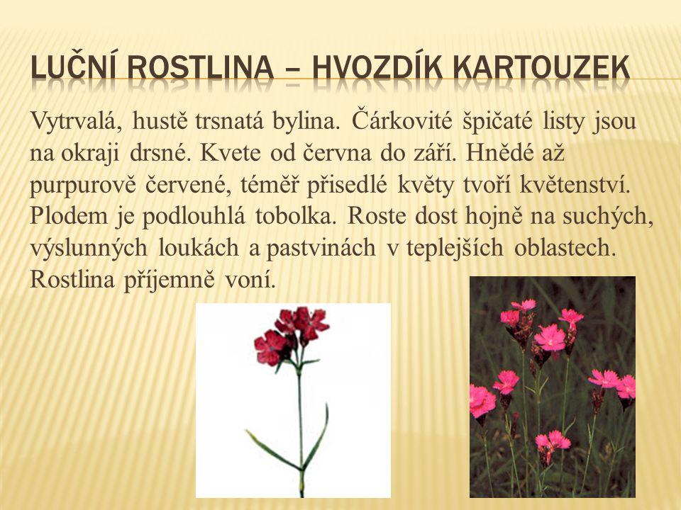 Vytrvalá, hustě trsnatá bylina. Čárkovité špičaté listy jsou na okraji drsné. Kvete od června do září. Hnědé až purpurově červené, téměř přisedlé květ