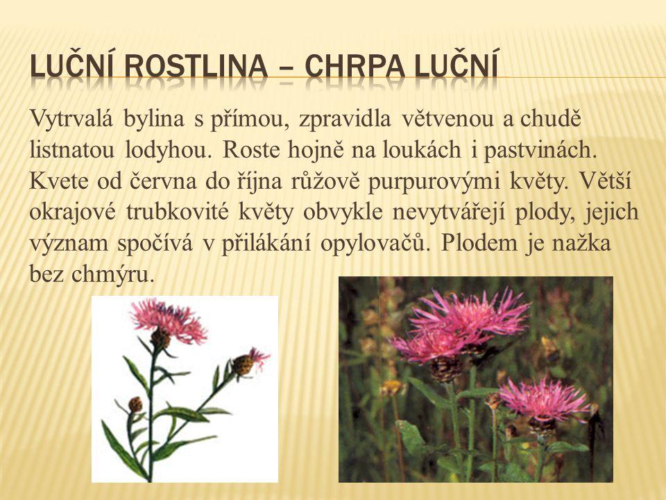 Vytrvalá bylina s přímou, zpravidla větvenou a chudě listnatou lodyhou. Roste hojně na loukách i pastvinách. Kvete od června do října růžově purpurový