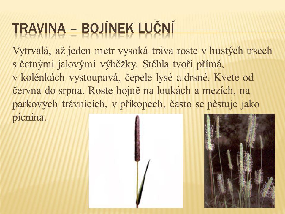Vytrvalá vysoká páchnoucí bylina s přímou lodyhou, trsnatá, tuhá a bohatě větvená.