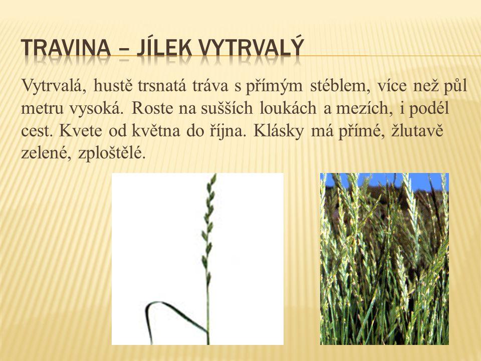 Vytrvalá, hustě trsnatá tráva s přímým stéblem, více než půl metru vysoká. Roste na sušších loukách a mezích, i podél cest. Kvete od května do října.