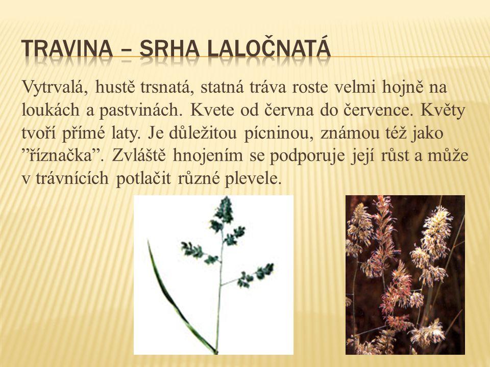Vytrvalá bylina s přímou a jednoduchou lodyhou má složené dlouze řapíkaté listy vyrůstající v přízemní růžici.
