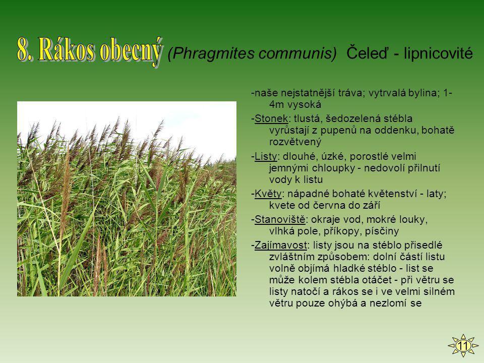 -naše nejstatnější tráva; vytrvalá bylina; 1- 4m vysoká -Stonek: tlustá, šedozelená stébla vyrůstají z pupenů na oddenku, bohatě rozvětvený -Listy: dl