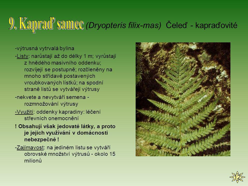 -výtrusná vytrvalá bylina -Listy: narůstají až do délky 1 m; vyrůstají z hnědého masivního oddenku; rozvíjejí se postupně; rozčleněny na mnoho střídav