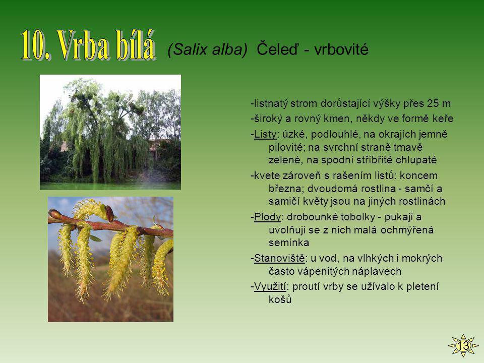 -listnatý strom dorůstající výšky přes 25 m -široký a rovný kmen, někdy ve formě keře -Listy: úzké, podlouhlé, na okrajích jemně pilovité; na svrchní