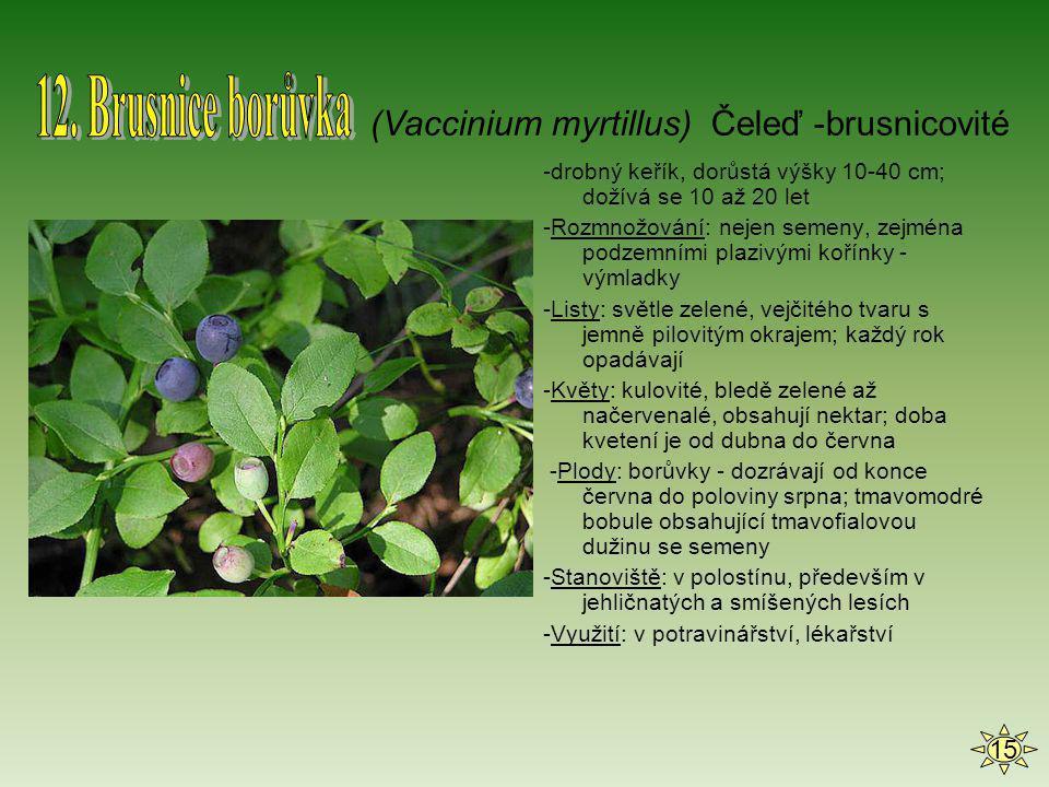 -drobný keřík, dorůstá výšky 10-40 cm; dožívá se 10 až 20 let -Rozmnožování: nejen semeny, zejména podzemními plazivými kořínky - výmladky -Listy: svě