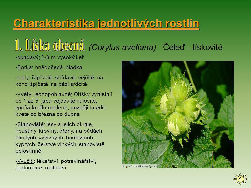 Charakteristika jednotlivých rostlin (Corylus avellana) Čeleď - lískovité 4 -opadavý; 2-8 m vysoký keř -Borka: hnědošedá, hladká -Listy: řapíkaté, stř