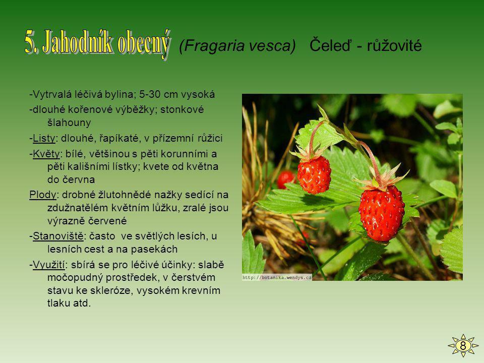 -Vytrvalá léčivá bylina; 5-30 cm vysoká -dlouhé kořenové výběžky; stonkové šlahouny -Listy: dlouhé, řapíkaté, v přízemní růžici -Květy: bílé, většinou
