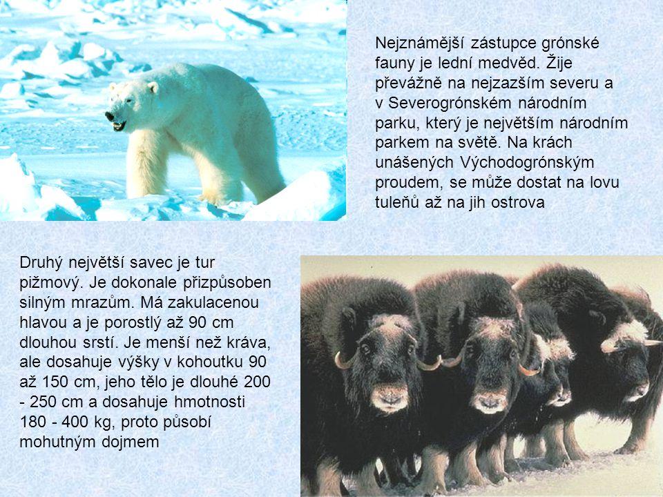 Nejznámější zástupce grónské fauny je lední medvěd.